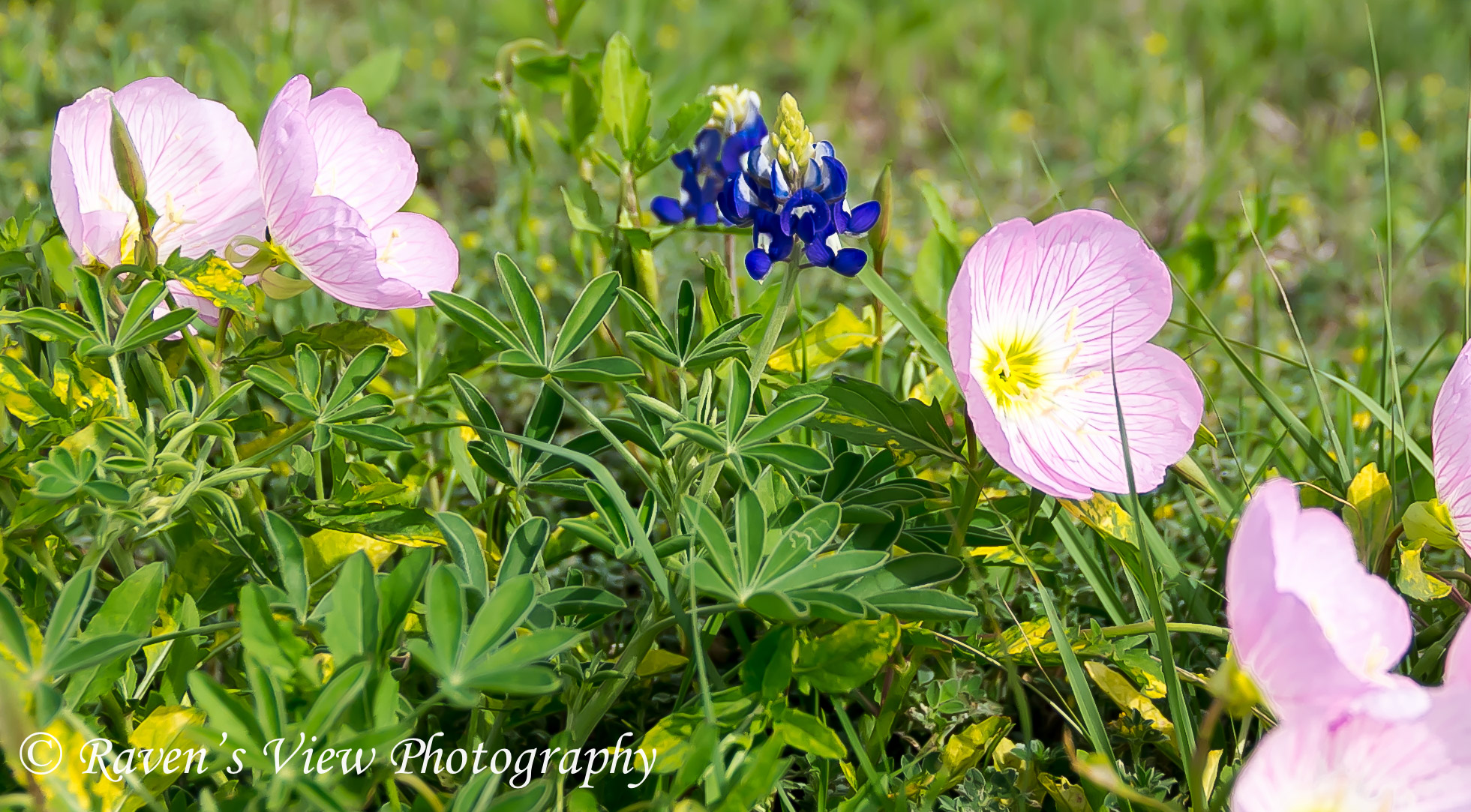 Colors Of Spring In Texas Ravens View Photography
